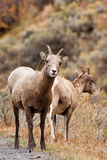 Bighorn Sheep Ewe Stock Images
