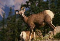 Bighorn Sheep Ewe. Standing on a grassy ridge royalty free stock image