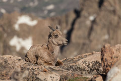 Bighorn Sheep Ewe Bedded Stock Images