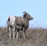 Bighorn sheep ewe. A bighorn sheep ewe on a grassy meadow royalty free stock photos