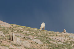 Bighorn Sheep Ewe Grazing. A bighorn sheep ewe grazing on a mountain ridge royalty free stock photo