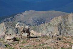 Bighorn Sheep Ewe and Lamb. A bighorn sheep ewe and lamb in the alpine stock photography