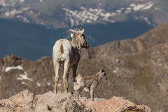 Bighorn Sheep Ewe with Lamb in the Alpine Royalty Free Stock Image