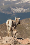 Bighorn Sheep Ewe and Lamb in the Alpine Stock Photography