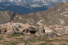 Bighorn Sheep Ewe with Lamb. A bighorn sheep ewe bedded with her cute lamb in the alpine stock photography