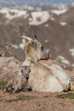 Bighorn Sheep Ewe and Lamb Bedded Stock Photo