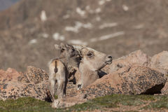 Bighorn Sheep Ewe and Lamb. A bighorn sheep ewe bedded with her cute lamb in the alpine royalty free stock photography