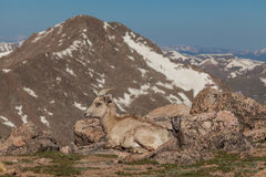 Bighorn Sheep Ewe and Lamb. A bighorn sheep ewe bedded with her cute lamb in the alpine stock photography