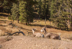 Bighorn Sheep Ewe and Lamb Stock Image
