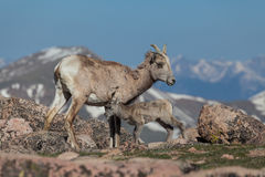 Bighorn Sheep Ewe and Lamb Stock Images