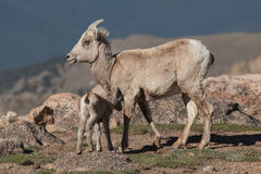 Bighorn Sheep Ewe with Lamb. A bighorn sheep ewe with her cute lamb in the alpine royalty free stock images