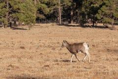 Bighorn Sheep Ewe in Meadow. A bighorn sheep ewe in a mountain meadow royalty free stock photos