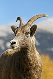 Bighorn Sheep Ewe in Mountails Stock Image