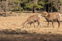 Bighorn Sheep Ewe and Ram in Rut. Bighorn sheep in a meadow during the fall rut stock photos