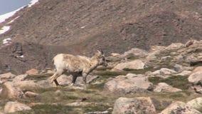 Bighorn Sheep Ewe. A rocky mountain bighorn sheep ewe in the Colorado high country stock video