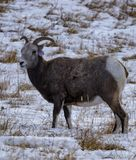 Bighorn sheep ewe on snowy pasture. A bighorn sheep ewe on a snowy pasture stock image