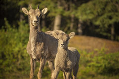 Bighorn Sheep. A bighorn sheep ewe stands with her lamb in Banff National Park, Alberta royalty free stock photo