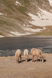 Bighorn Sheep Ewes and lamb Stock Photography