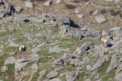 Bighorn Sheep Ewes and Lambs. Rocky mountain bighorn sheep ewes and lambs in the alpine Stock Images