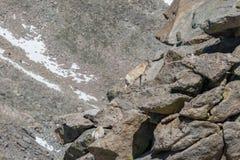 Bighorn Sheep Ewes in Rocks. Rocky mountain bighorn sheep ewes in the alpine Stock Image