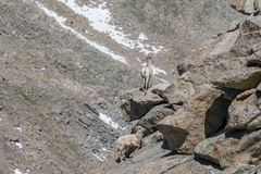 Bighorn sheep ewes. Rocky mountain bighorn sheep ewes in the alpine Stock Photography