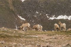 Bighorn Sheep Ewes. Rocky mountain bighorn sheep ewes in the Colorado high country Stock Photography