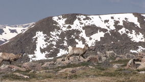 Bighorn Sheep Ewes. Rocky mountain bighorn sheep ewes in the Colorado high country stock footage