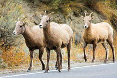 Bighorn Sheep Ewes Walking Down Road Stock Photo