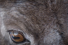 Bighorn sheep eye macro Stock Image