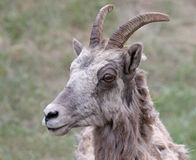 Bighorn Sheep Face Stock Image