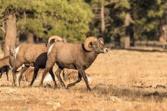 Bighorn Sheep in the Fall Rut Royalty Free Stock Photos