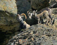 Bighorn sheep family. Family of Bighorn sheep in Northern Rocky Mountains in Canada Stock Image