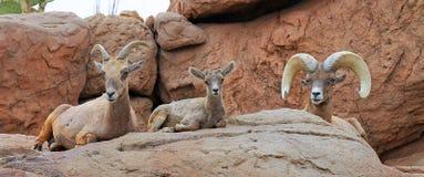 Free BigHorn Sheep Family Stock Image - 54701221