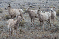 Bighorn Sheep family Royalty Free Stock Photo