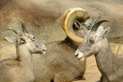 Bighorn sheep family in close-up. Family bighorn sheep (ovis canadensis): ram and two ewes. They are lying between the rocks Stock Photos