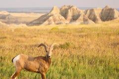 Bighorn Sheep Male Ram Badlands National Park South Dakota. A Bighorn Sheep feeds on the abundant grass in the badlands of South Dakota stock images