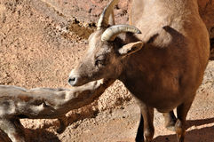 Bighorn sheep female ewe with small horns in rocks Stock Image