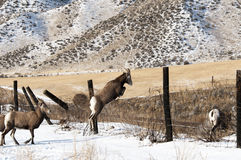 Bighorn Sheep Jumping Stock Image