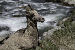 Bighorn sheep female (Ovis canadensis) Royalty Free Stock Images