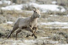 Bighorn Sheep Female, Running Stock Photography