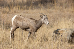 Bighorn sheep in field. Royalty Free Stock Photo