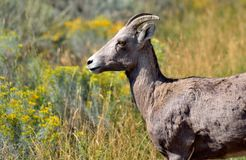 Bighorn sheep in a field watching the tourists royalty free stock photography