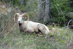 Bighorn sheep in the fields Stock Photo