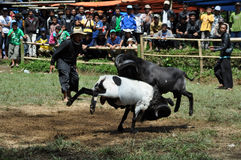 Bighorn sheep fighting competition in Garut, Indonesia. Garut, Indonesia - 15 January 2012: Bighorn sheep fighting competition in Garut. Garut Sheep Fighting Royalty Free Stock Photo