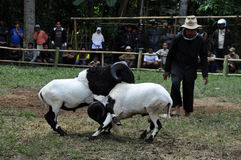 Bighorn sheep fighting competition in Garut, Indonesia. Garut, Indonesia - 15 January 2012: Bighorn sheep fighting competition in Garut. Garut Sheep Fighting stock photo