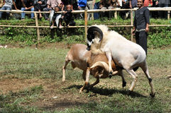 Bighorn sheep fighting competition in Garut Stock Photo