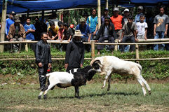 Bighorn sheep fighting competition in Garut Royalty Free Stock Images