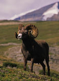 Bighorn Sheep Full Curl Ram Stock Photo