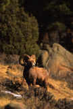 Bighorn Sheep Full Curl Ram. A full curl bighorn sheep standing proud on its winter range Royalty Free Stock Photo