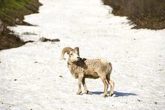 Bighorn Sheep Glacier Stock Image